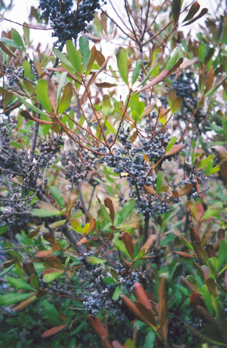 Northern Bayberry (Myrica pensylvanica) in Fayetteville ...