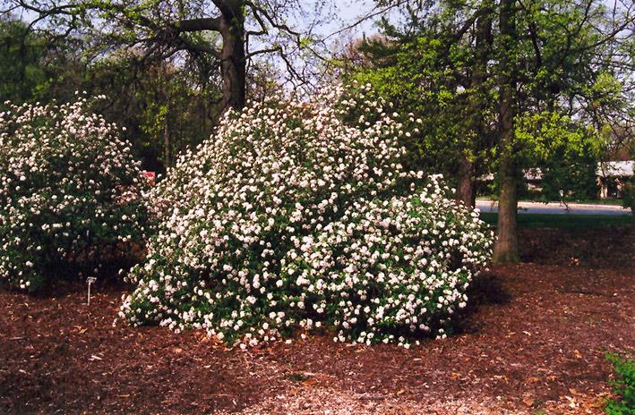 Mohawk Viburnum Viburnum X Burkwoodii 39 Mohawk 39 In