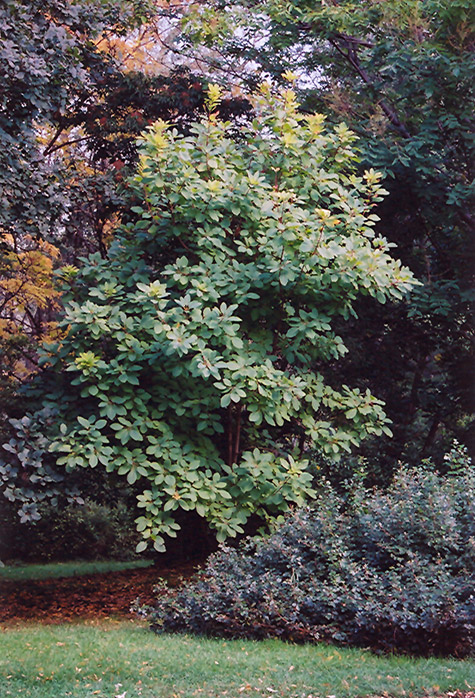 American Smoketree (Cotinus obovatus) in Fayetteville ...