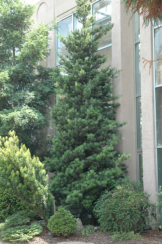 Japanese Yew Podocarpus Macrophyllus In Fayetteville