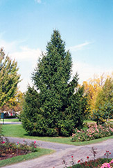 Norway Spruce (Picea abies) at Westwood Gardens