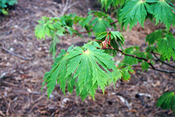 Fullmoon Maple (Acer japonicum) at Westwood Gardens