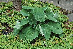 Blue Angel Hosta (Hosta 'Blue Angel') at Westwood Gardens