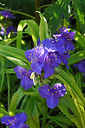 Sweet Kate Spiderwort (Tradescantia x andersoniana 'Sweet Kate') at Westwood Gardens