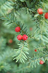 Japanese Yew (Taxus cuspidata) at Westwood Gardens