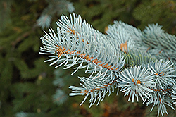 Blue Colorado Spruce (Picea pungens 'var. glauca') at Westwood Gardens