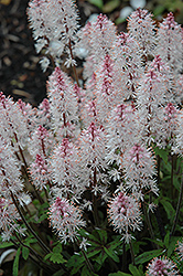 Spring Symphony Foamflower (Tiarella 'Spring Symphony') at Westwood Gardens
