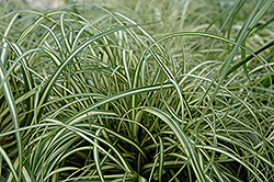 Evergold Variegated Japanese Sedge (Carex oshimensis 'Evergold') at Westwood Gardens