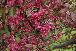 Profusion Flowering Crab (Malus 'Profusion') at Westwood Gardens