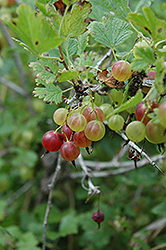Pixwell Gooseberry (Ribes 'Pixwell') at Westwood Gardens