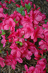 Mother's Day Azalea (Rhododendron 'Mother's Day') at Westwood Gardens