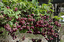 Purple bouquet fiveleaf akebia akebia quinata 39 purple - Olive garden fayetteville arkansas ...