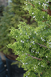 Hollywood Juniper (Juniperus chinensis 'Torulosa') at Westwood Gardens