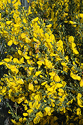Scotch Broom (Cytisus scoparius) at Westwood Gardens