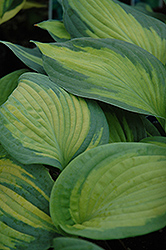 Brother Stefan Hosta (Hosta 'Brother Stefan') at Westwood Gardens