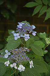 Blue Billow Hydrangea (Hydrangea serrata 'Blue Billow') at Westwood Gardens