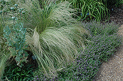 Mexican Feather Grass (Nassella tenuissima) at Westwood Gardens
