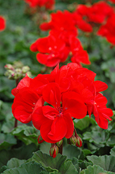 Tango Dark Red Geranium (Pelargonium 'Tango Dark Red') at Westwood Gardens