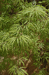 Filigree Green Lace Japanese Maple (Acer palmatum 'Filigree Green Lace') at Westwood Gardens