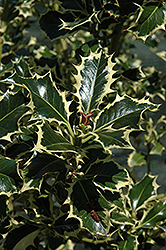 Aureomarginata English Holly (Ilex aquifolium 'Aureomarginata') at Westwood Gardens