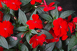 Super Sonic Red New Guinea Impatiens (Impatiens hawkeri 'Super Sonic Red') at Westwood Gardens