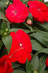 Sonic® Red New Guinea Impatiens (Impatiens 'Sonic Red') at Westwood Gardens