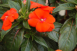 Sonic® Orange New Guinea Impatiens (Impatiens 'Sonic Orange') at Westwood Gardens
