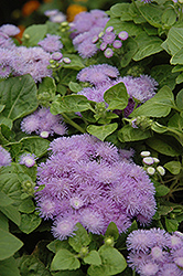 Hawaii Blue Flossflower (Ageratum 'Hawaii Blue') at Westwood Gardens