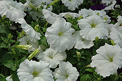 Easy Wave White Petunia (Petunia 'Easy Wave White') at Westwood Gardens
