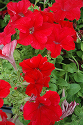 Dreams Red Petunia (Petunia 'Dreams Red') at Westwood Gardens