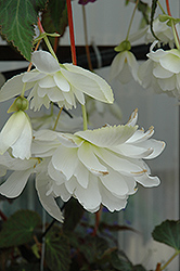 Illumination® White Begonia (Begonia 'Illumination White') at Westwood Gardens