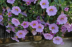 Superbells® Miss Lilac Calibrachoa (Calibrachoa 'Superbells Miss Lilac') at Westwood Gardens