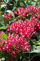 Butterfly™ Pink Star Flower (Pentas lanceolata 'Butterfly Pink') at Westwood Gardens
