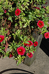 Aloha Dark Red Calibrachoa (Calibrachoa 'Aloha Dark Red') at Westwood Gardens
