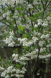 Japanese Snowbell (Styrax japonicus) at Westwood Gardens