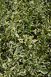 Variegated Japanese Privet (Ligustrum japonicum 'Variegatum') at Westwood Gardens