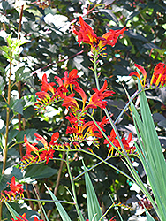 Lucifer Crocosmia (Crocosmia 'Lucifer') at Westwood Gardens