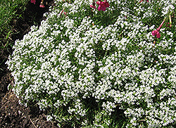 Wonderland White Alyssum (Lobularia maritima 'Wonderland White') at Westwood Gardens
