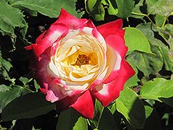Double Delight Rose (Rosa 'Double Delight') at Westwood Gardens