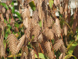 Northern Sea Oats (Chasmanthium latifolium) at Westwood Gardens