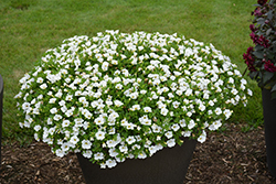 Superbells® White Calibrachoa (Calibrachoa 'Superbells White') at Westwood Gardens