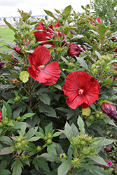 Cranberry Crush Hibiscus (Hibiscus 'Cranberry Crush') at Westwood Gardens
