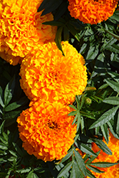 Taishan Orange Marigold (Tagetes erecta 'Taishan Orange') at Westwood Gardens