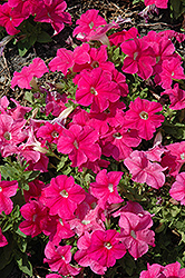 Pretty Grand Deep Pink Petunia (Petunia 'Pretty Grand Deep Pink') at Westwood Gardens