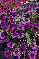 MiniFamous® Royal Blue Calibrachoa (Calibrachoa 'MiniFamous Royal Blue') at Westwood Gardens
