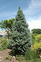 Upright Colorado Spruce (Picea pungens 'Fastigiata') at Westwood Gardens