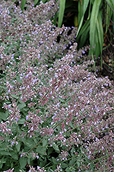 Cat's Meow Catmint (Nepeta x faassenii 'Cat's Meow') at Westwood Gardens