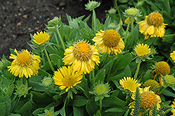 Mesa Yellow Blanket Flower (Gaillardia x grandiflora 'Mesa Yellow') at Westwood Gardens