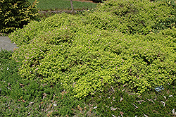 Golden Elf Spirea (Spiraea japonica 'Golden Elf') at Westwood Gardens