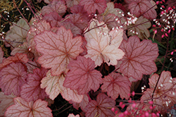 Georgia Peach Coral Bells (Heuchera 'Georgia Peach') at Westwood Gardens